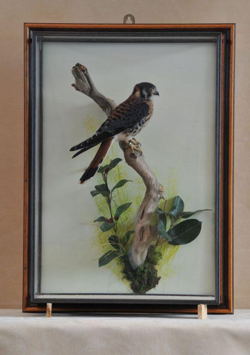 taxidermy American kestrel Falco sparverius wall case
