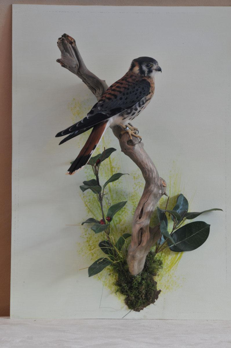 taxidermy American kestrel Falco sparverius 5