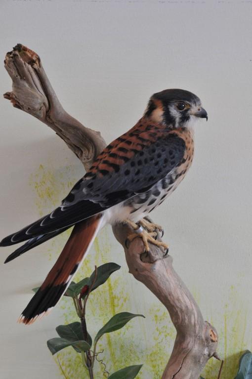 taxidermy American kestrel Falco sparverius 4