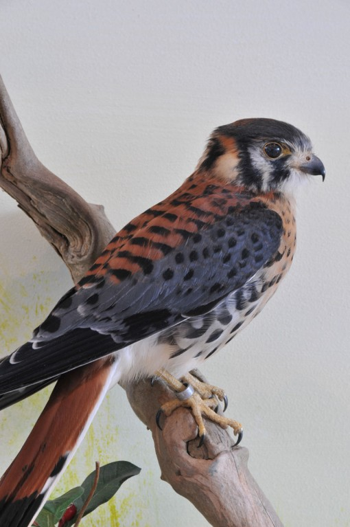 American kestrel - UK Bird Small Mammal Taxidermist Mike Gadd