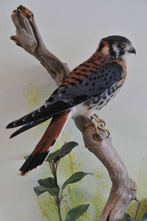 taxidermy American kestrel Falco sparverius