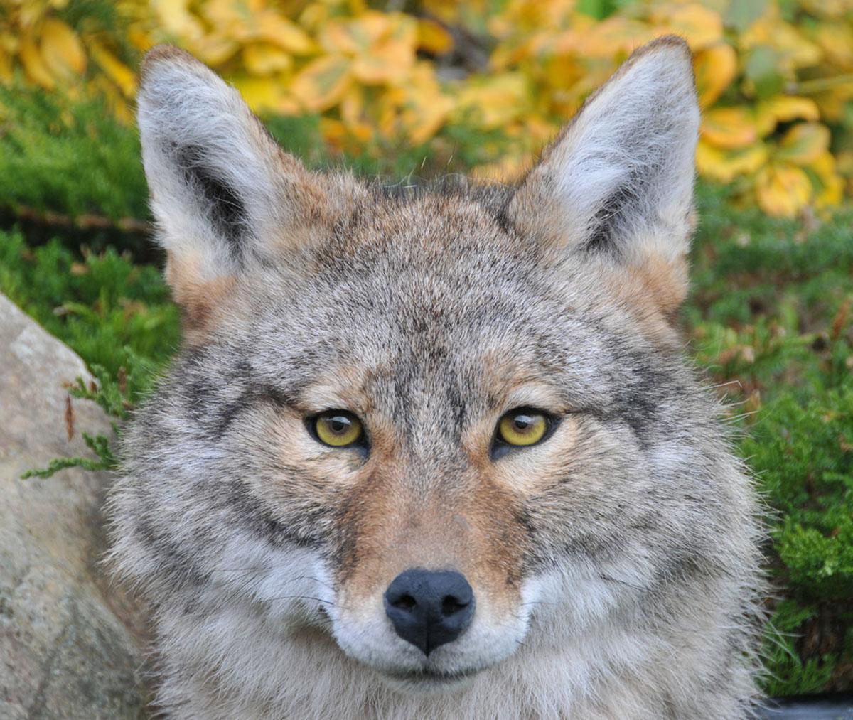 coyote taxidermy head