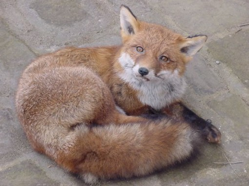 Taxideremy Fox curled up