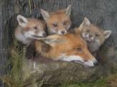 Fox cubs and vixen close up