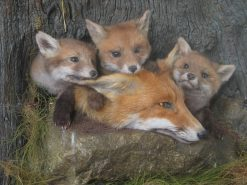 Fox cubs and vixen close up