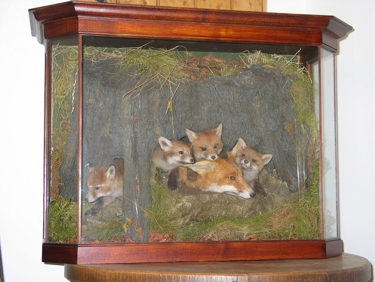 Fox cubs and vixen