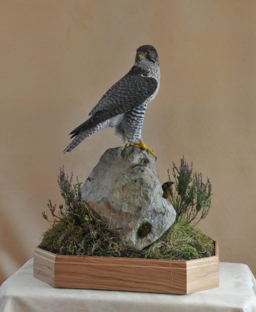 Taxidermy Gyrfalcon 8386 v2