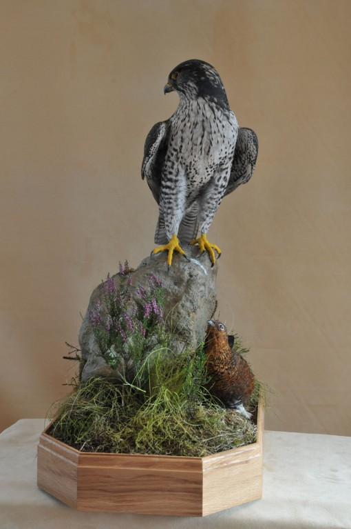 Taxidermy Gyrfalcon 8386 front