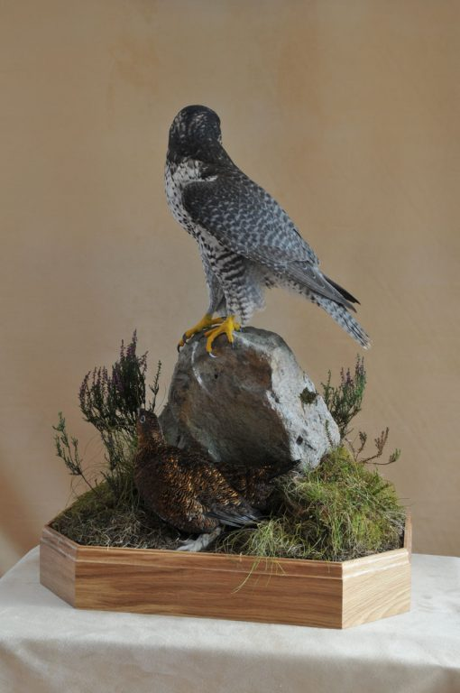 Taxidermy Gyrfalcon 8386 with grouse