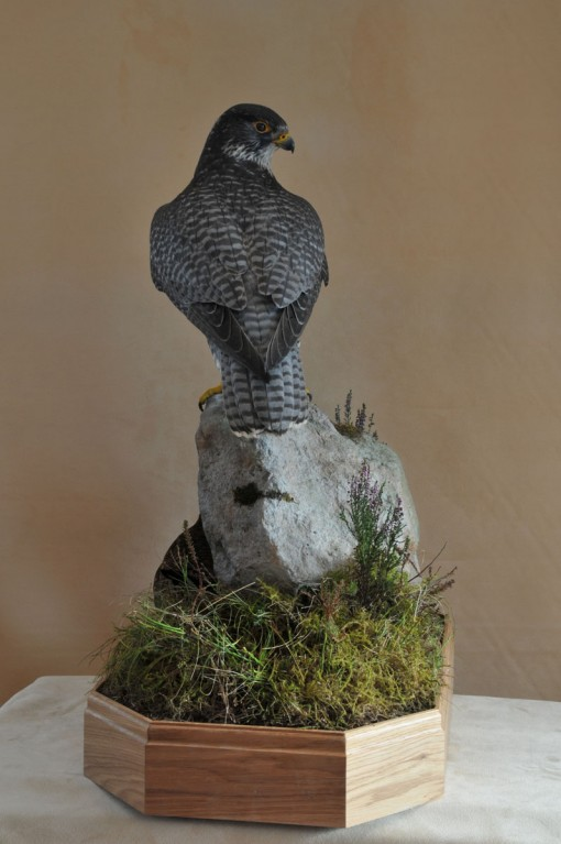 Taxidermy Gyrfalcon 8386 back