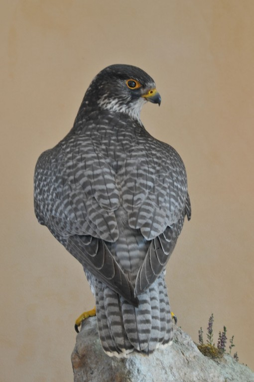 Taxidermy Gyrfalcon 8386