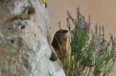 Taxidermy Gyrfalcon 8386 grouse