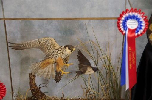 Bird Taxidermy Hobby Falcon winner 2013 Cased award