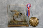 hobby-falcon-taxidermy-best-in-show2013