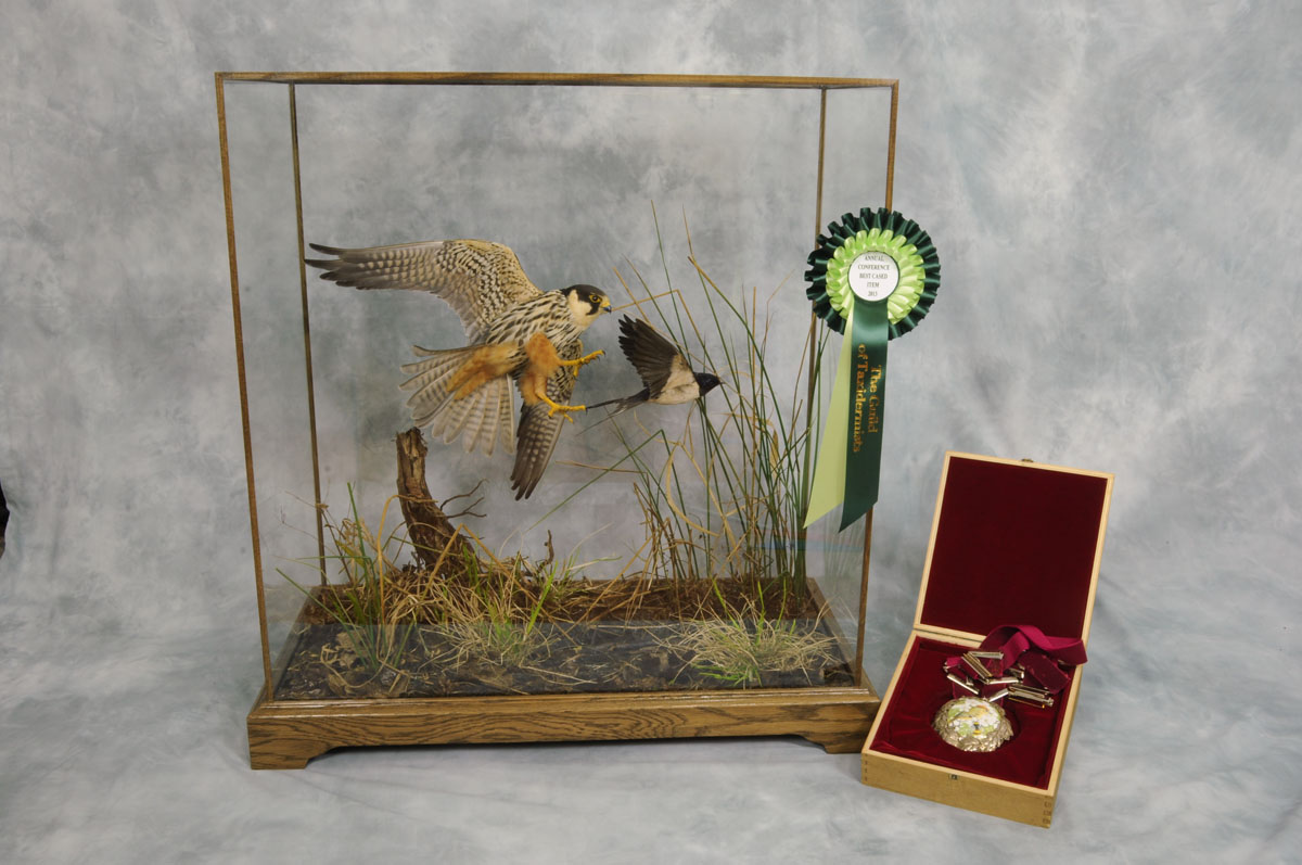Bird Taxidermy Hobby Falcon winner 2013 cased wagstaff