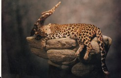 Taxidermy Leopard on rock