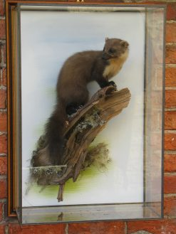 Pine Martin Taxidermy