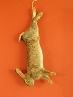 taxidermy hanning rabbit