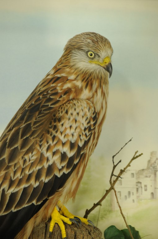 Taxidermy Red Kite closeup