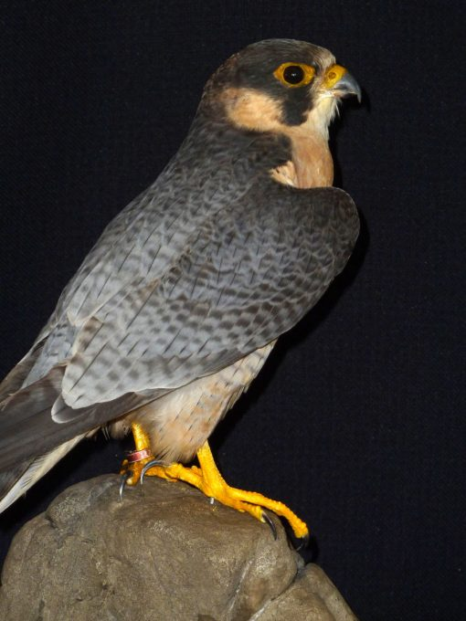 Taxidermy Red-naped Shaheen - Falco pelegrinoides babylonicus bg