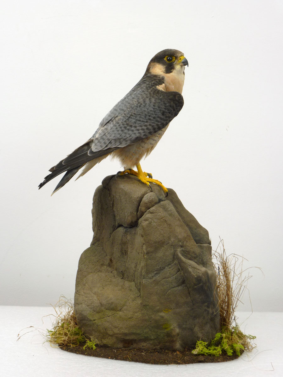 Taxidermy Red-naped Shaheen - Falco pelegrinoides babylonicus