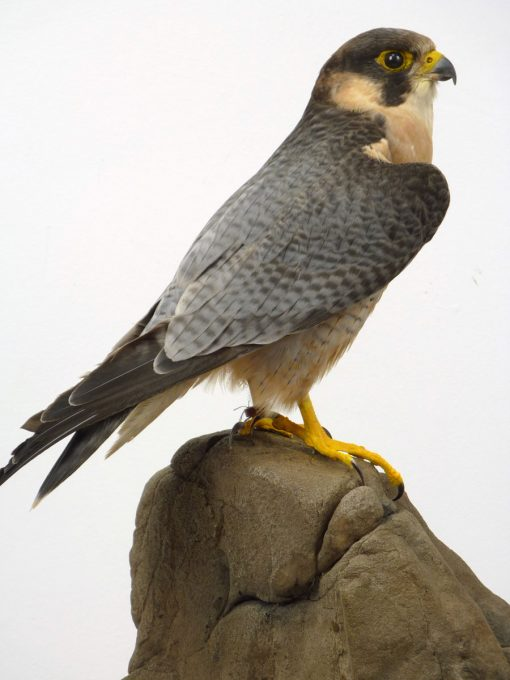 Taxidermy Red-naped Shaheen - Falco pelegrinoides babylonicus close up
