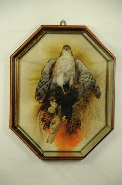 Sparrow hawk in wall case Taxidermy