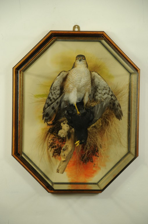 taxidermy-sparrowhawk-blackbird