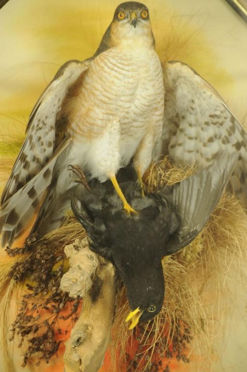 Taxidermy Sparrow hawk in wall case