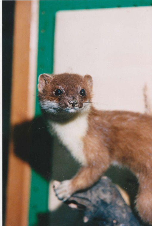taxidermy-stoat