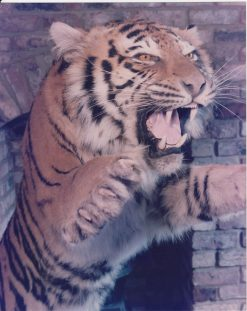 Tiger Taxidermy