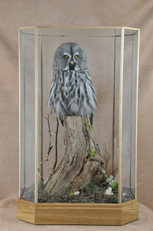 Taxidermy Great Grey Owl - Strix nebulosa in case