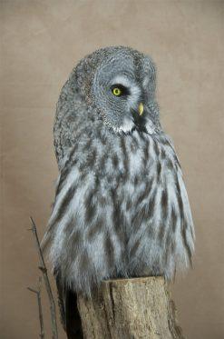 Taxidermy Great Grey Owl - Strix nebulosa close up of head