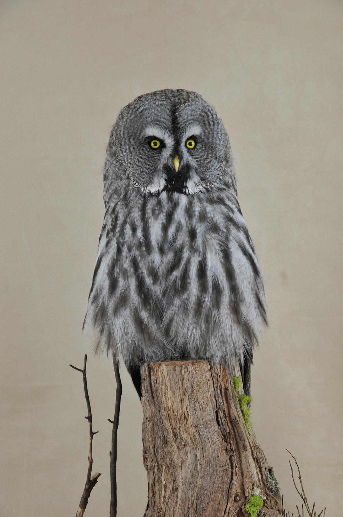 Bird Taxidermy Great Grey Owl - Strix nebulosa By Mike Gadd