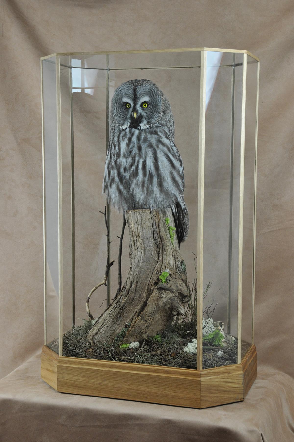 Bird Taxidermy Great Grey Owl - Strix nebulosa