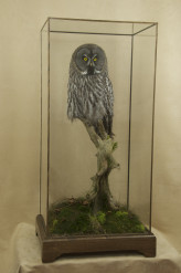 Taxidermy Great Grey Owl - Strix nebulosa in case