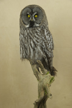 Taxidermy Great Grey Owl - Strix nebulosa 1/4 turn