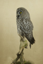 Taxidermy Great Grey Owl - Strix nebulosa far side