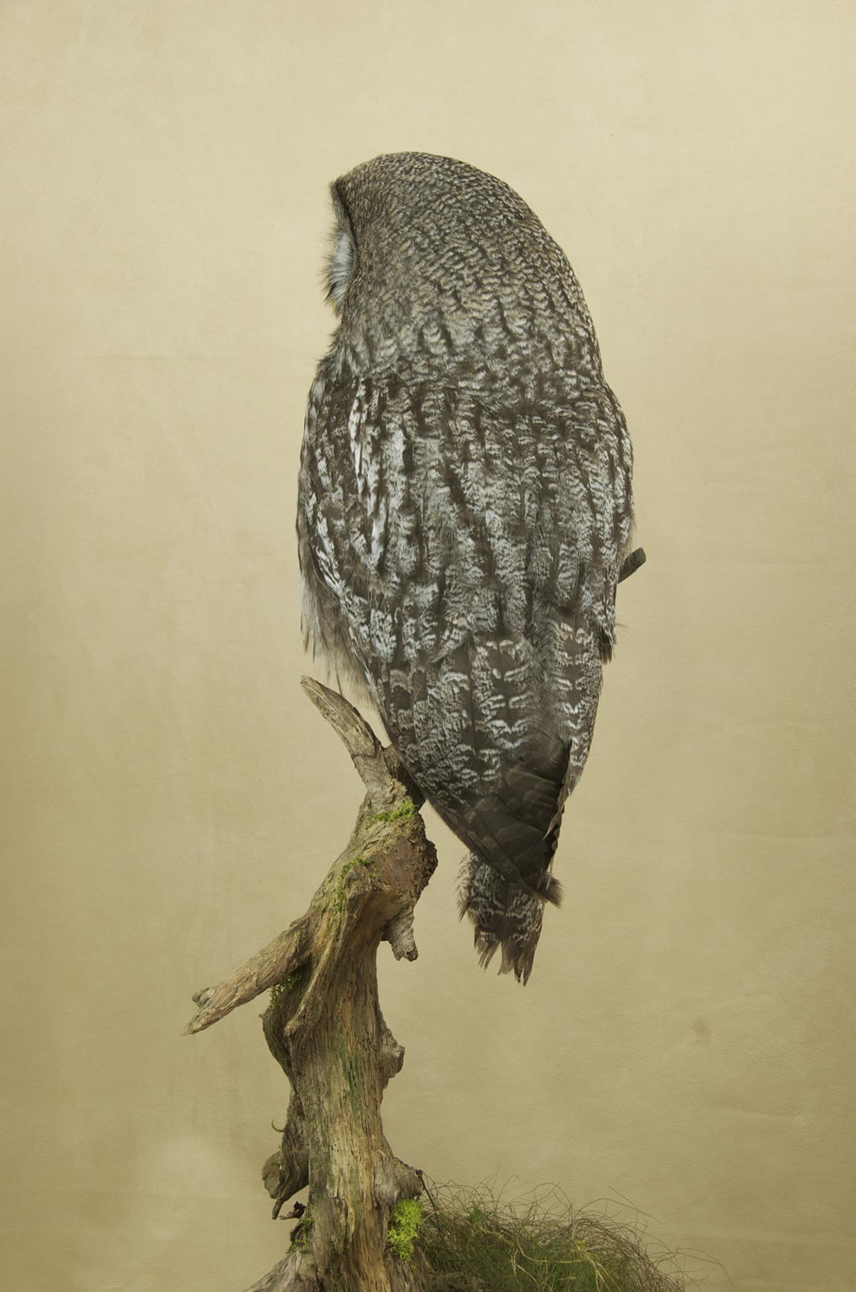 Taxidermy Great Grey Owl - Strix nebulosa back