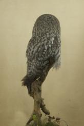 Taxidermy Great Grey Owl - Strix nebulosa side