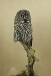 Taxidermy Great Grey Owl - Strix nebulosa front