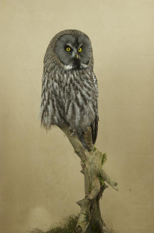 great_grey_owl-strix_nebulosa-8547_4765