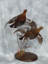 Red Grouse flying Taxidermy
