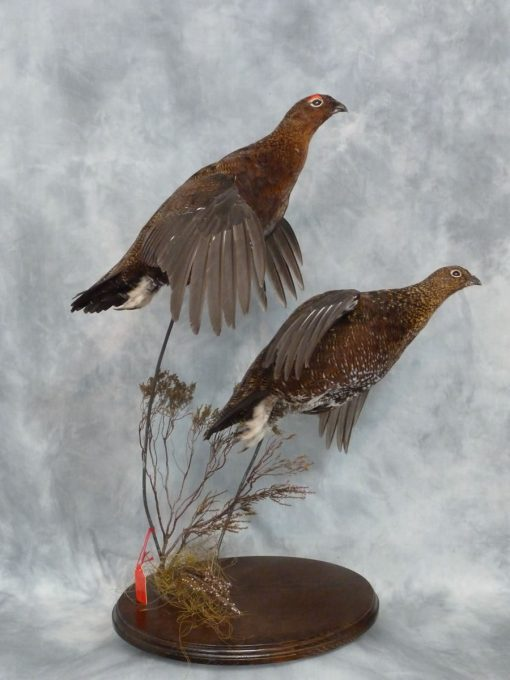 Red Grouse flying Taxidermy 2
