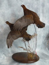 Red Grouse flying Taxidermy 4