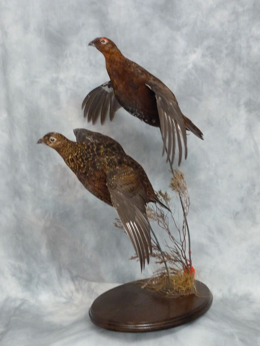 Red Grouse flying Taxidermy 1