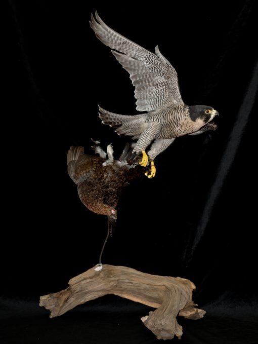 Peregrine Falcon - falco peregrinus Bird Taxidermy 6