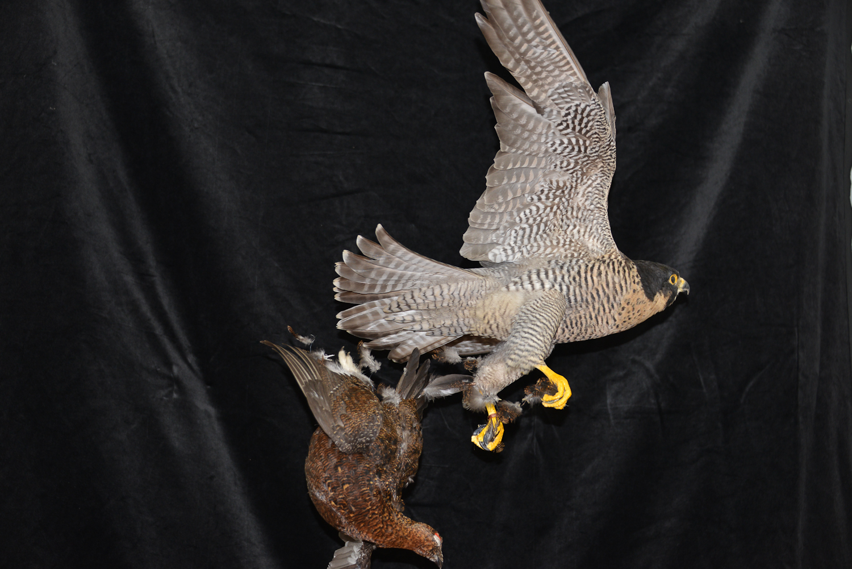 Peregrine Falcon - falco peregrinus Bird Taxidermy 24