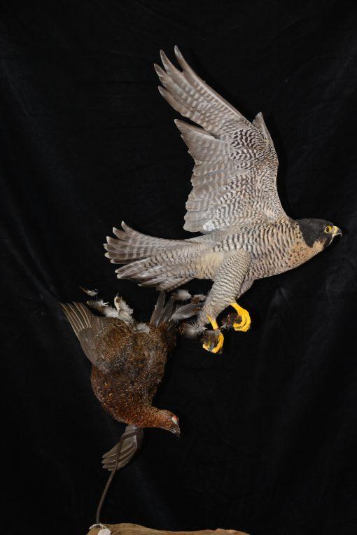 Peregrine Falcon - falco peregrinus Bird Taxidermy 21