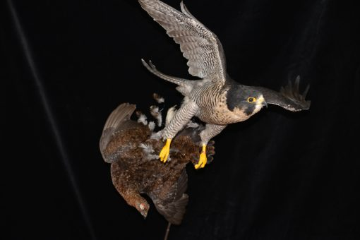 Peregrine Falcon - falco peregrinus Bird Taxidermy 18